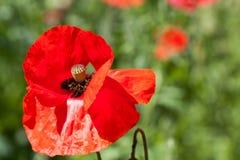 Macro vermelho do close-up da flor da papoila como o fundo Imagens de Stock