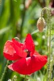Macro vermelho do close-up da flor da papoila como o fundo Imagens de Stock Royalty Free