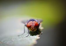 Macro vermelho do ` s do olho da mosca da casa Imagem de Stock