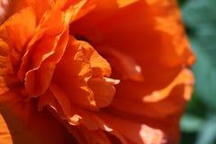 Macro vermelho grande da papoila Papoila no jardim fotografia de stock