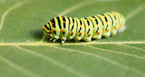 Macro of vermin caterpillar Royalty Free Stock Photography
