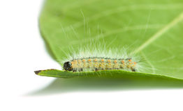 Macro of vermin shaggy caterpillar on leaf Royalty Free Stock Photos