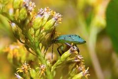 Macro vert d'insecte d'insecte (foyer sélectif) Photos libres de droits
