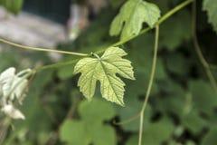 Macro vert de plan rapproché de feuille de vigne Image libre de droits