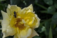 Macro vicina su dell'ape del miele che raccoglie polline dal fiore della rosa di giallo Immagine Stock