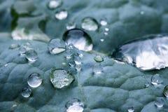Macro vicina su delle gocce di pioggia pure sulla foglia di verde blu con struttura di venation Fotografie Stock Libere da Diritti