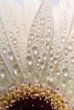 Macro vicina in su di un fiore della margherita Fotografia Stock