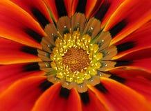 Macro vicina in su di un fiore variopinto di gazania. Fotografie Stock