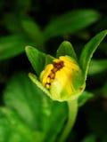 Macro vicina in su di un germoglio di fiore della margherita Fotografie Stock Libere da Diritti