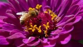 Macro video of a bee pollinating a magenta flower stock video