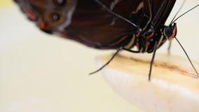 Macro video of blue morpho butterfly eating. Uses its proboscis morpho peleides stock video footage