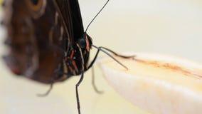 Macro video of blue morpho butterfly eating. Uses its proboscis morpho peleides stock footage