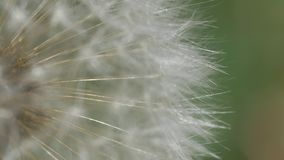 Dandelion Seeds Macro Video stock video