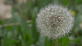 Dandelion Seeds Macro Video stock footage