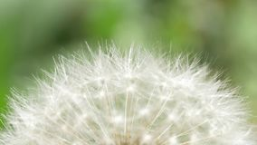 Dandelion Blowing in The Wind. Macro video of dandelion flower. Dandelion seeds stock video footage