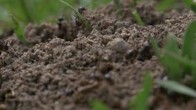 Macro video delle formiche stock footage