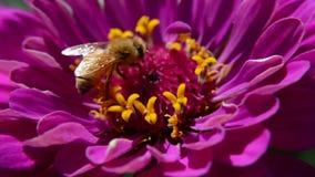 Macro video di un'ape che impollina un fiore magenta archivi video