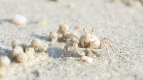 Macro Video filming of a small crab at work. A small crab on the beach makes sand balls. Balls of sand on the coast of the island of Phangan stock footage