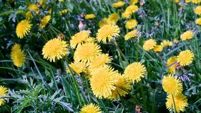 Macro video shooting motion of blossoming dandelion flowers close-up. From wind on the street stock video footage