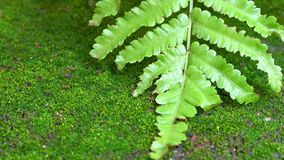 Ferns and moss on the ground. Macro video Shot on slider slowly motion stock footage