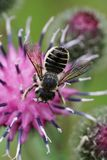 Macro view from above of Caucasian bee leafworm Megachile rotund. Ata sitting on purple flower of thistle Arctium lappa in summer royalty free stock photography