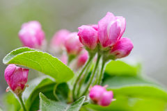 Macro view apple tree branch with fresh green leaves and blooming pink flowers Stock Photography