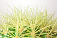 Macro view of a barrel cactus. With spines and flowers royalty free stock image