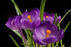 Macro view of a beautiful crocus flower on black. Spring background stock photography