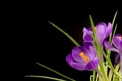 Macro view of a beautiful crocus flower on black. Spring background stock images