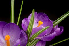 Macro view of a beautiful crocus flower on black. Spring background stock image