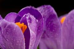 Macro view of a beautiful crocus flower royalty free stock photo