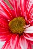 Macro view of a beautiful daisy Royalty Free Stock Photography