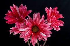Macro view of a beautiful daisy Royalty Free Stock Image