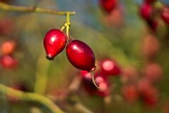 Macro view of beautiful fall rose hips fruit on warm autumn background