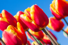 Macro view of beautiful orange tulips, Netherlands Royalty Free Stock Photos