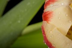Macro view of a beautiful tulip flower on black. Spring background royalty free stock images