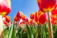 Macro view from below of many orange tulips Stock Photos