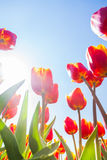 Macro view from below of tulips in sunshine Stock Image