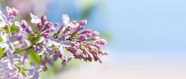 Macro view blossoming Syringa lilac bush. Springtime landscape with bunch of violet flowers. lilacs blooming plants. Background. soft focus photo. copy space stock photos