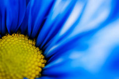 Macro view of a blue daisy and its pistil Stock Photos