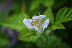 Macro view of Boysenberry Rubus ursinus blossom which is a cross among the European raspberry Rubus idaeus, European blackberr. Y Rubus fruticosus, American royalty free stock images