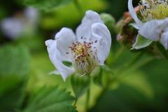 Macro view of Boysenberry Rubus ursinus blossom which is a cross among the European raspberry Rubus idaeus, European blackberr. Y Rubus fruticosus, American royalty free stock photos