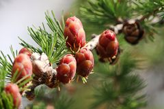 Macro view of branches with young tamarack cones Stock Photo