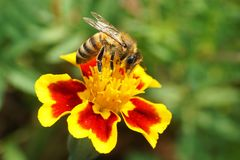 Macro view of Caucasian bee Apis mellifera sitting on red-yellow. Macro side view of Caucasian brown bee Apis mellifera with antennae and wings sitting and stock photo