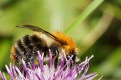 Macro view of a Caucasian fluffy bright orange field bumblebee B. Macro view of a Caucasian fluffy bright orange bumblebee Bombus pascuoruma collecting nectar on royalty free stock photos