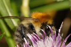 Macro view of a Caucasian fluffy bright orange field bumblebee B. Macro view of Caucasian fluffy bright orange bumblebee Bombus pascuoruma with tendrils of stock photography