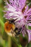 Macro view of Caucasian fluffy bright orange field bumblebee Bom. Macro view of a Caucasian fluffy bright orange bumblebee Bombus pascuoruma with head, antennae stock images