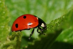 Macro view of Caucasian ladybug on fluffy green leaf. Macro view of a Caucasian red ladybug with black dots on a green fluffy leaf in summer stock photos