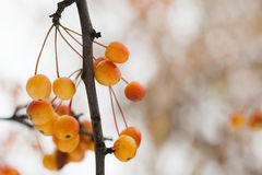 Macro view Chinese crabapple branch with yellow orange apple fruits. Ripe Malus prunifolia apples. Soft focus, shallow Stock Image