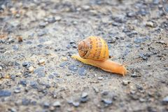 Macro view of common Brown Garden Snail Cornu aspersum which is a species of land snail. A terrestrial pulmonate gastropod mollu. Sc in the family Helicidae stock photo